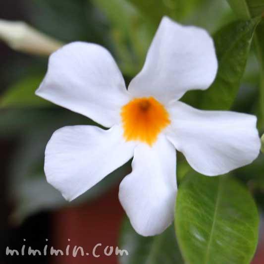ディプラデニアの花の写真