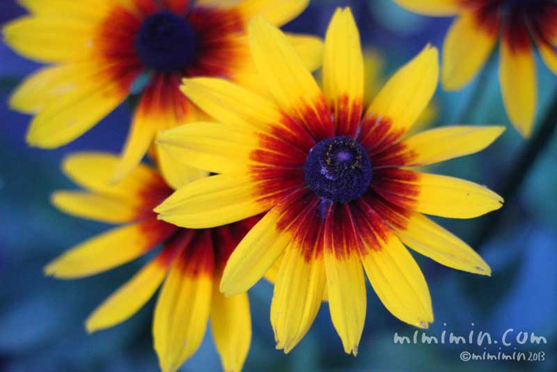 ルドベキアの花言葉・名前の由来の写真