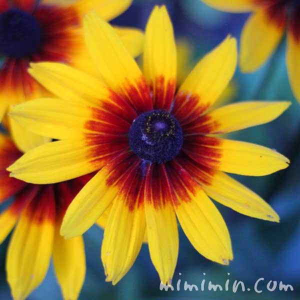 ルドベキアの花言葉・名前の由来・花の写真の画像