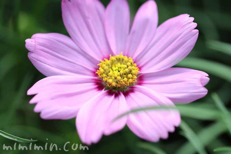 ピンク色のコスモスの画像