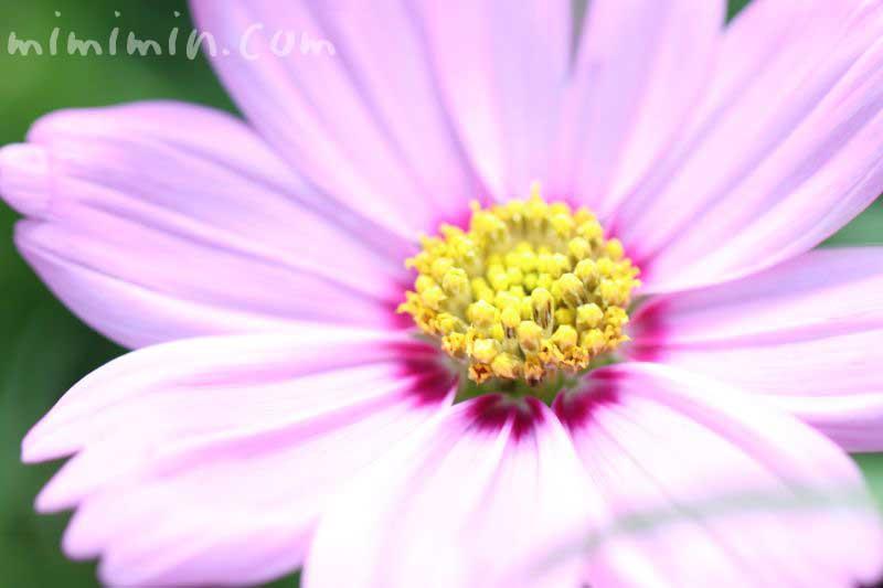 秋桜・ピンクの画像