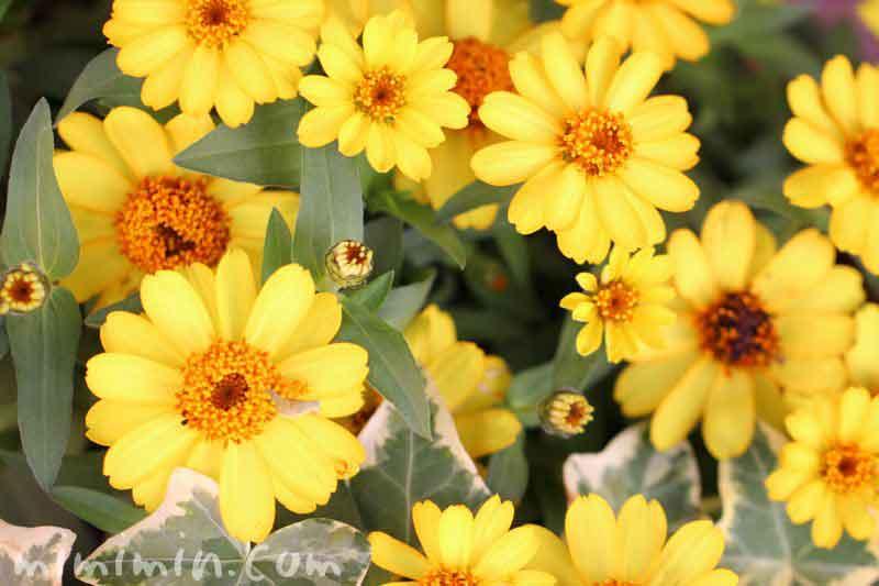 ジニア・黄色の画像
