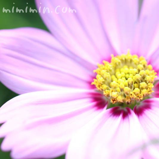 秋桜の花・ピンクの画像