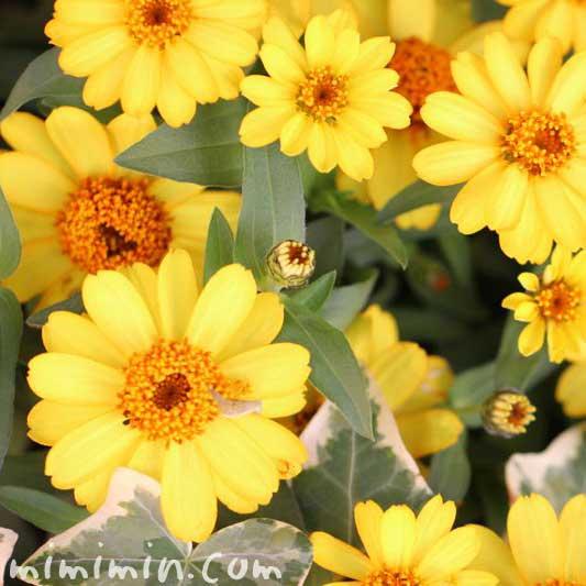 ジニアの花・黄色の画像