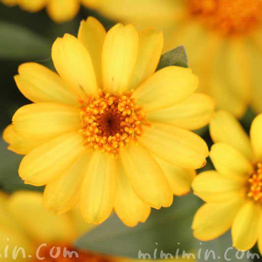 ヒャクニチソウの花・黄色の画像