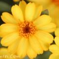 ヒャクニチソウ・黄色の写真