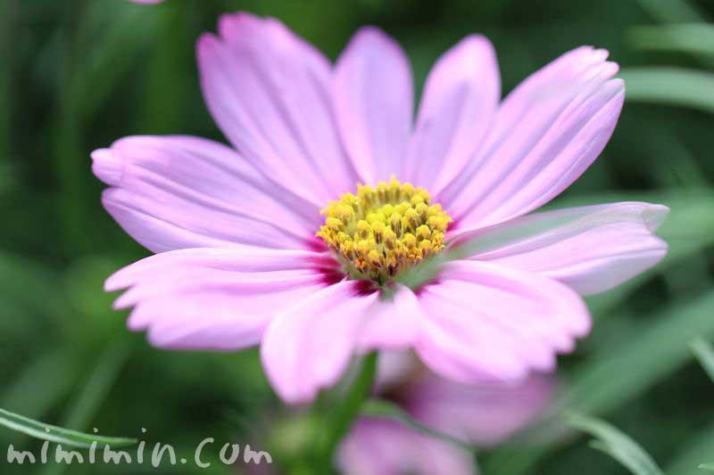 コスモスの花・ピンクの写真
