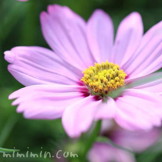 コスモス・ピンクの画像