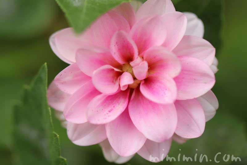 ダリアの花・ピンク色の写真