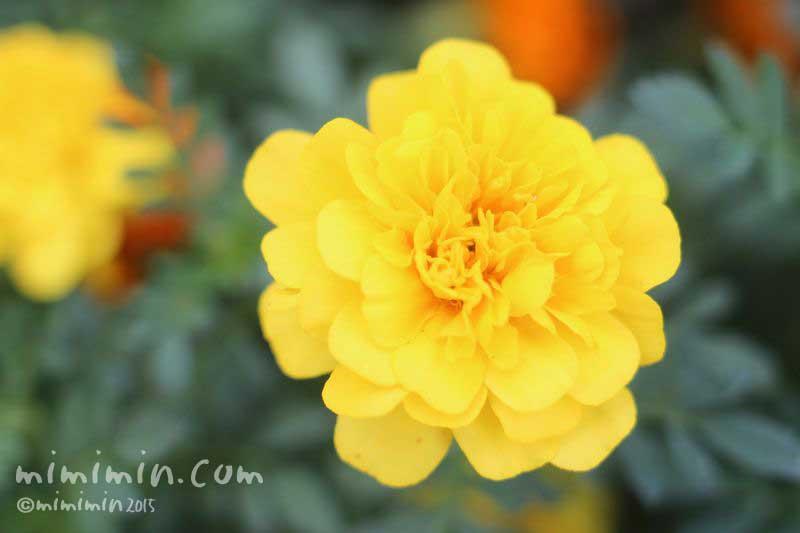 黄色のマリーゴールド(色別の花言葉・花の写真)の画像