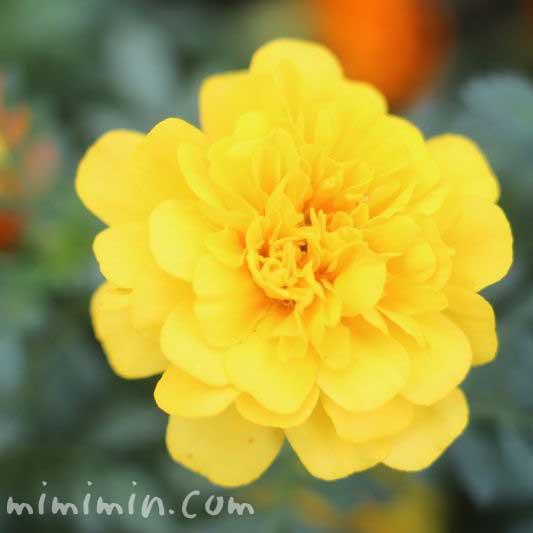 黄色のマリーゴールド(色別の花言葉)の写真