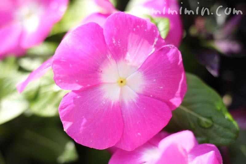 日々草・ピンク色の画像