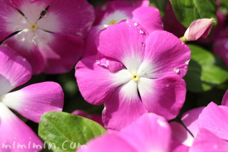 日々草・ピンク色の花の画像