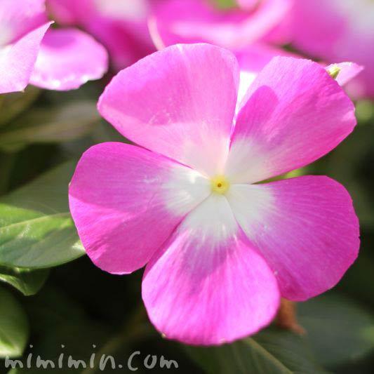 ニチニチソウ・日々草・ピンク色の画像