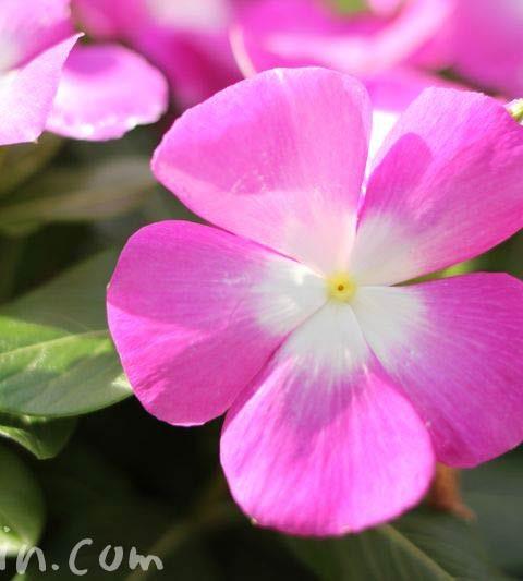 ニチニチソウの色別の花言葉(ピンク・白)・ニチニチソウの花の写真