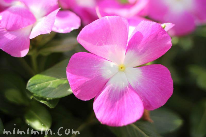 ニチニチソウ・日々草・ピンク色の花の写真