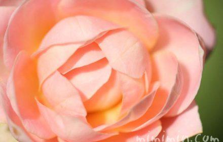 バラ カップ咲きの画像
