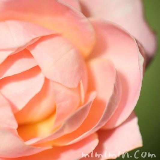 バラの花 カップ咲きの写真