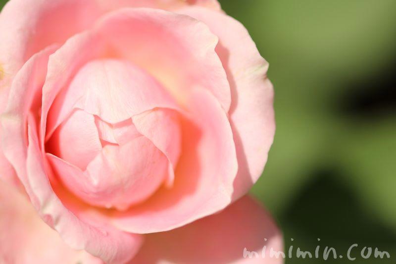 薔薇の花 カップ咲きの画像