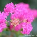 百日紅のピンクの花の写真