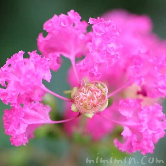 百日紅・ピンクの画像