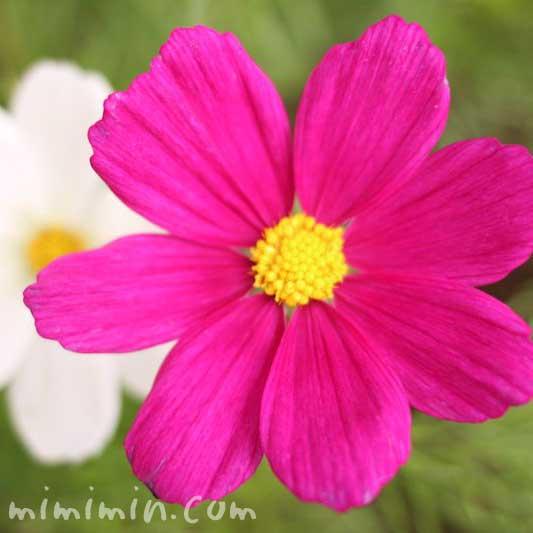 コスモス(濃ピンク・白)の写真