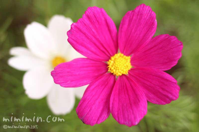 コスモスの花(濃ピンク・白)の写真