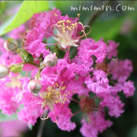 ピンクのサルスベリの花の写真・花言葉・名前の由来