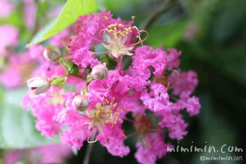 ピンク色のサルスベリ・花言葉・名前の由来の画像