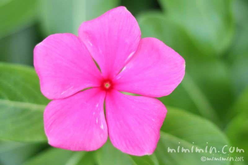 ニチニチソウ(濃いピンク色)の花の写真