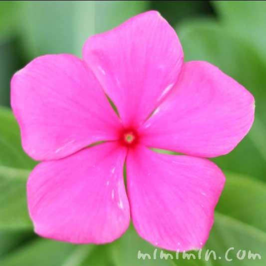 濃いピンクのニチニチソウの写真