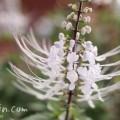 ネコノヒゲの花(白)の写真