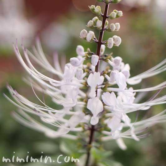 ネコノヒゲ(白い花)の画像