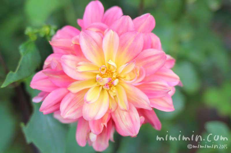 ダリア(ピンク色)の写真