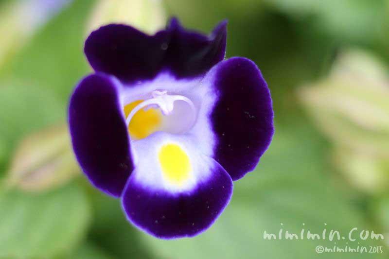 トレニア(紫色)の画像