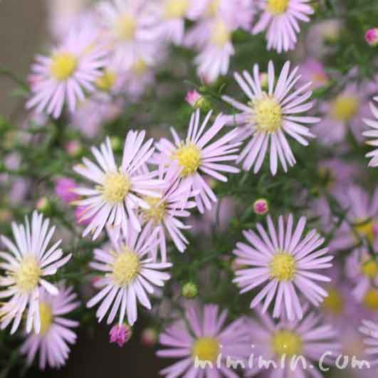 クジャクソウ(孔雀草)の花の写真