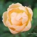 カップ咲きのバラの写真