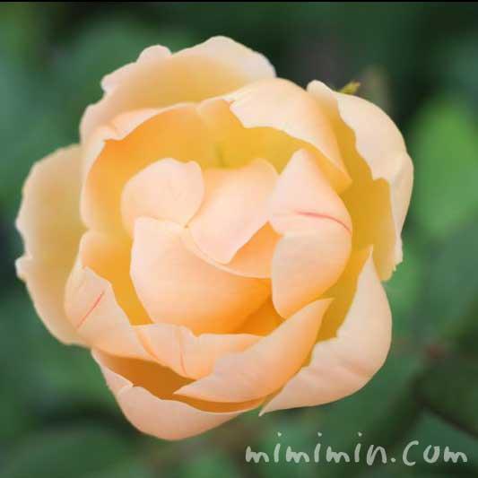 カップ咲きのバラ(コーラルオレンジ)の画像