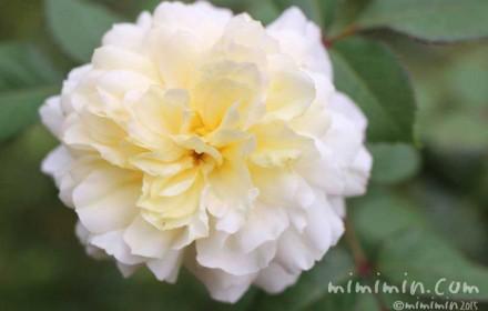 クリーム色のバラの写真