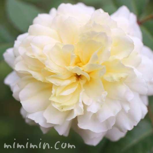 クリーム色のバラの花の写真