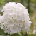 白いフロックス(オイランソウ)の画像