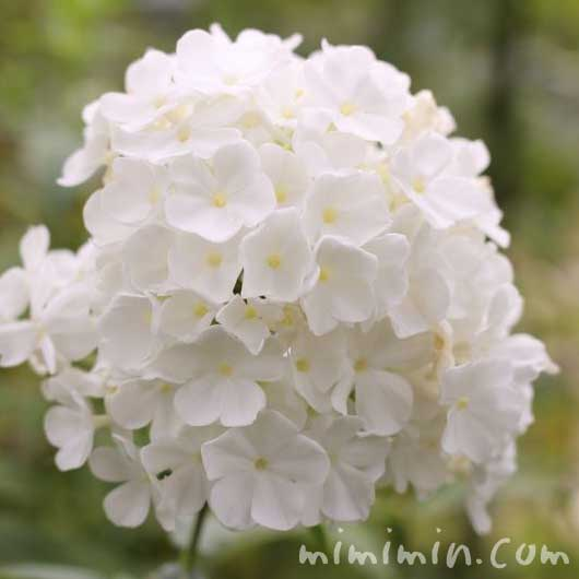 白いフロックスの写真