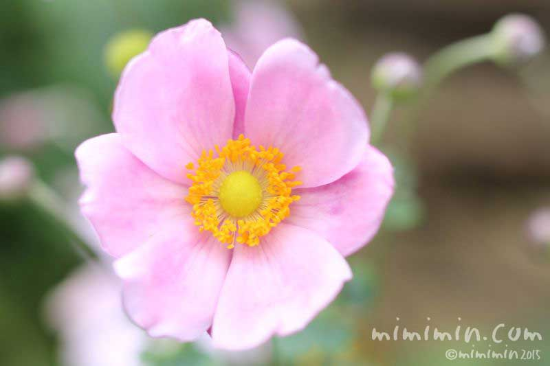 シュウメイギク(秋明菊)の花の写真