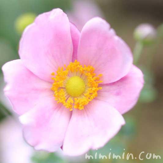 シュウメイギク(秋明菊)の写真