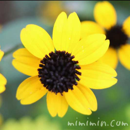 サンビタリアの花(ジャノメギク)の画像