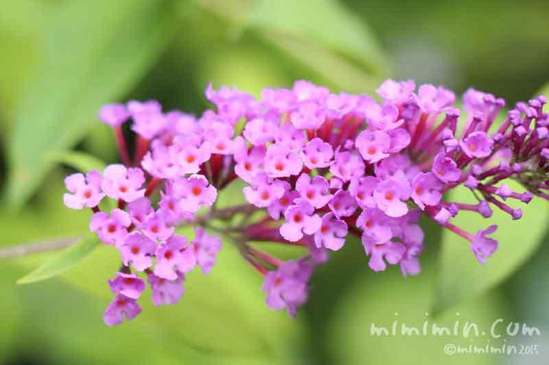 ブッドレアの花(濃いピンク)の写真