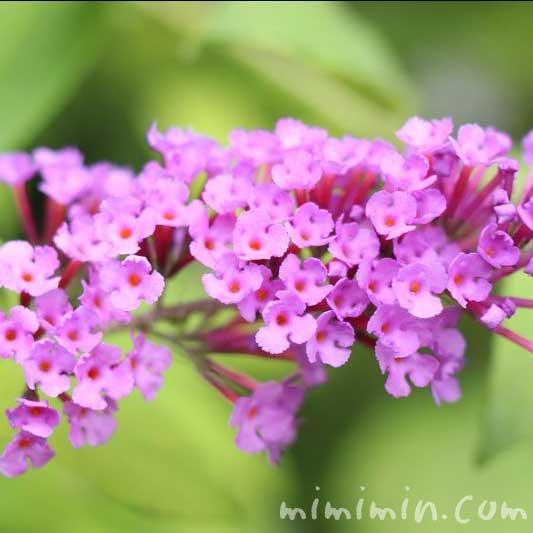 ブッドレア(濃いピンク)の写真