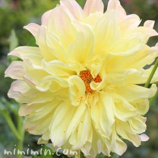 黄色いダリアの花の画像