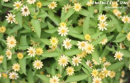 メランポジウム(メランポジューム)の花の写真