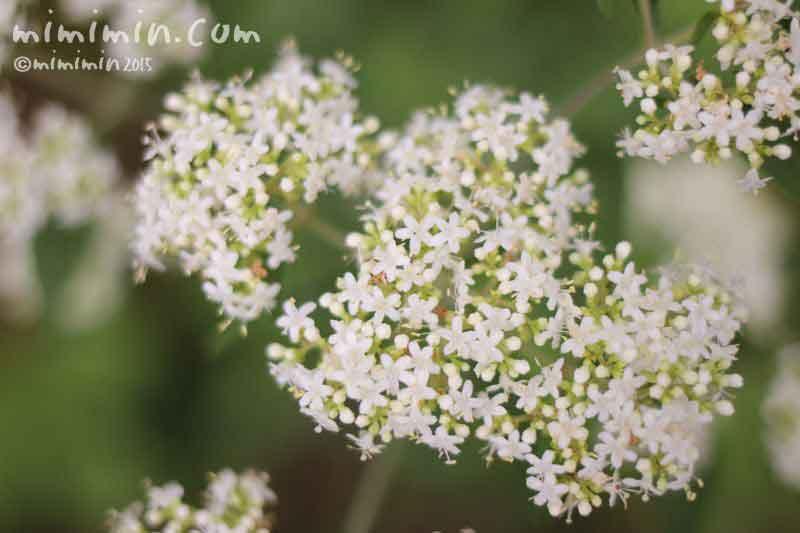 オトコエシ(男郎花)の写真